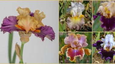 Algunos Iris bellos (y nuevos) en Chelsea Flower Show 2017