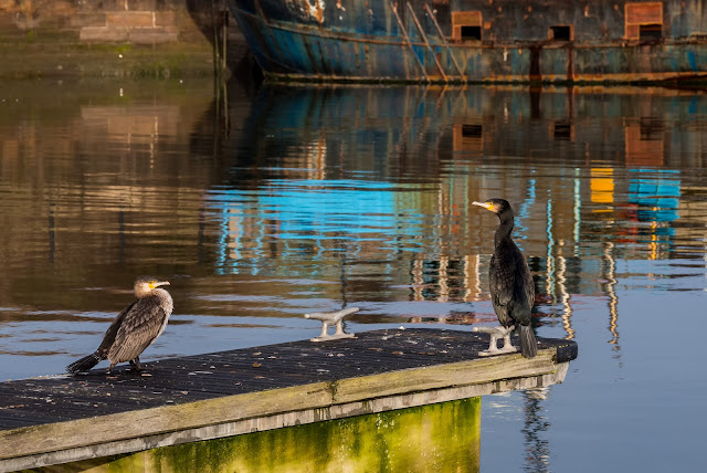 Photo of cormorants enjoying the winter sunshine at Maryport Marina