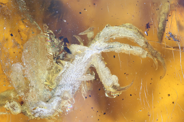 Baby bird discovered in 99 million year old Myanmar amber