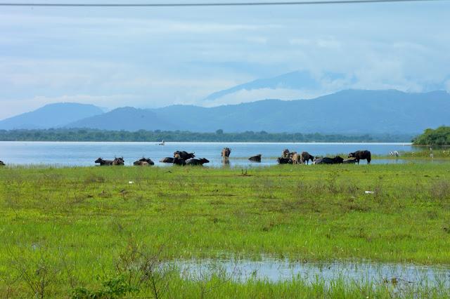 Water buffalos at udawalawe national park