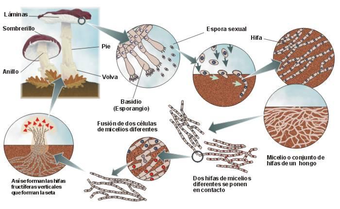 Reproduccion asexual de los hongos esporulacion