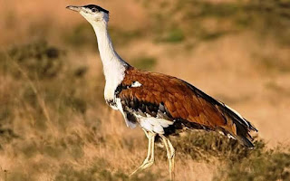 Great Indian Bustard as the Mascot for COP-13 on Migratory Species