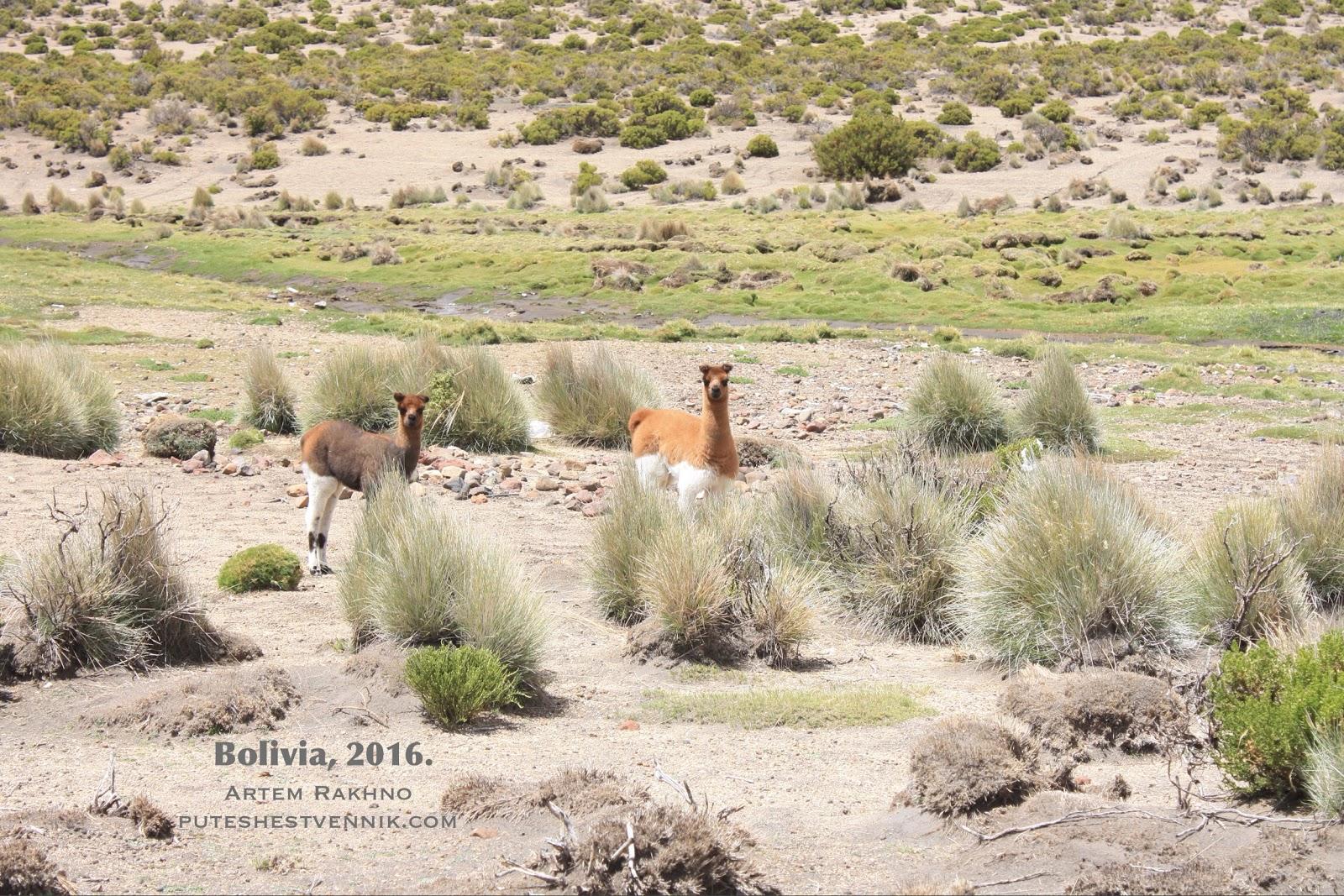 Ламы в боливийской степи