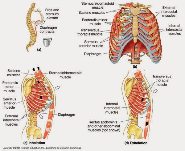 muscles respiratoires infirmier