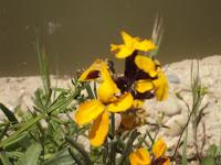 flor de alheli