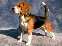 Beagle Dog Animal Pictures