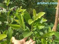 Obat muntaber dengan menggunakan daun tanaman jambu biji