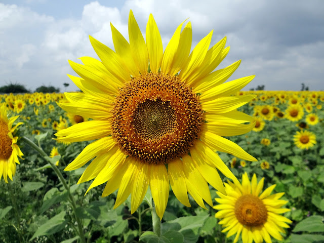 Yellow Sunflower  Beautiful HD Wallpaper