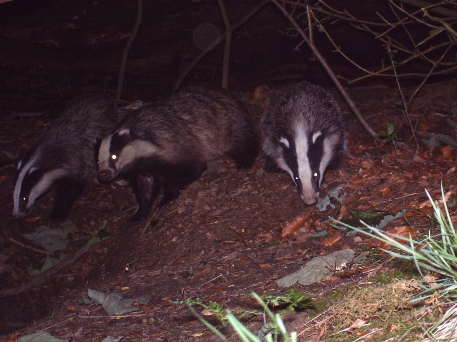 TrogTrogBlog: More badgers on BadgerCam