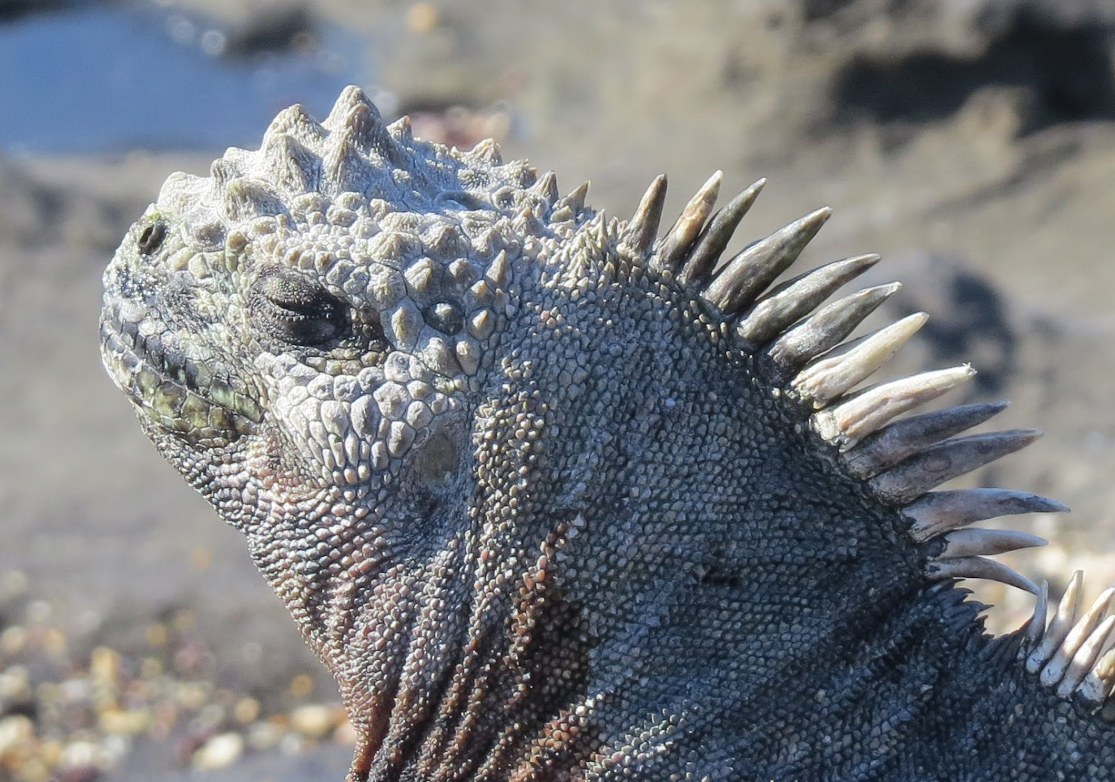 No Two Galapagos Iguanas The Same A Photographic Review