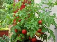 Cara Mudah Menanam Tomat Dari Biji