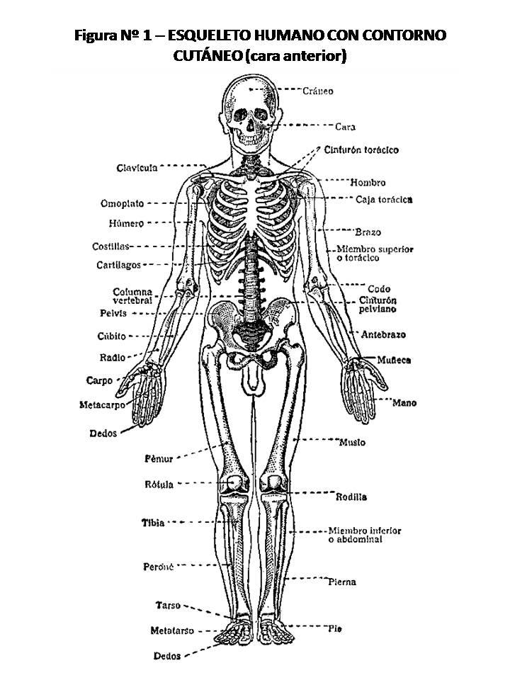 Atlas De Anatomía Humana 1 Esqueleto Humano Con Contorno Cutáneo