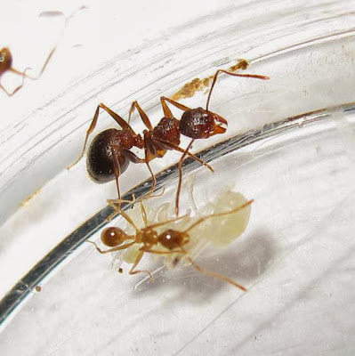 The median and minor workers of this rare Pheidole species with pupae (of minor and median workers)