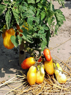 jak pielęgnować pomidory w czasie upału