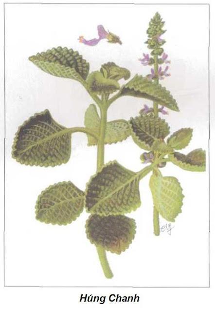 HÚNG CHANH - Coleus aromaticus Benth - Nguyên liệu làm thuốc Chữa Ho Hen