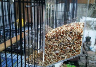 Pola Makanan Lovebird Biar Rajin Ngekek, Cara Perawatan Lovebird Harian Biar Ngekek Panjang, Inilah Menu Makanan dan Suplemen Lovebird Terbaik biar Ngekek