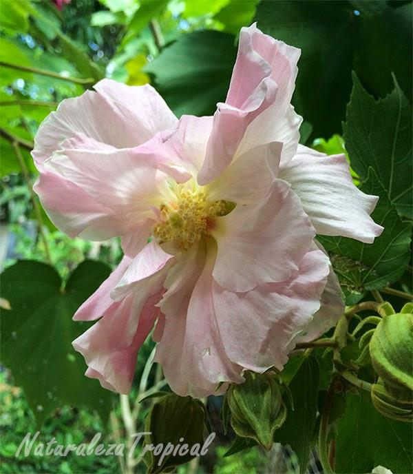 Flor Rosa de mayo al mediodía