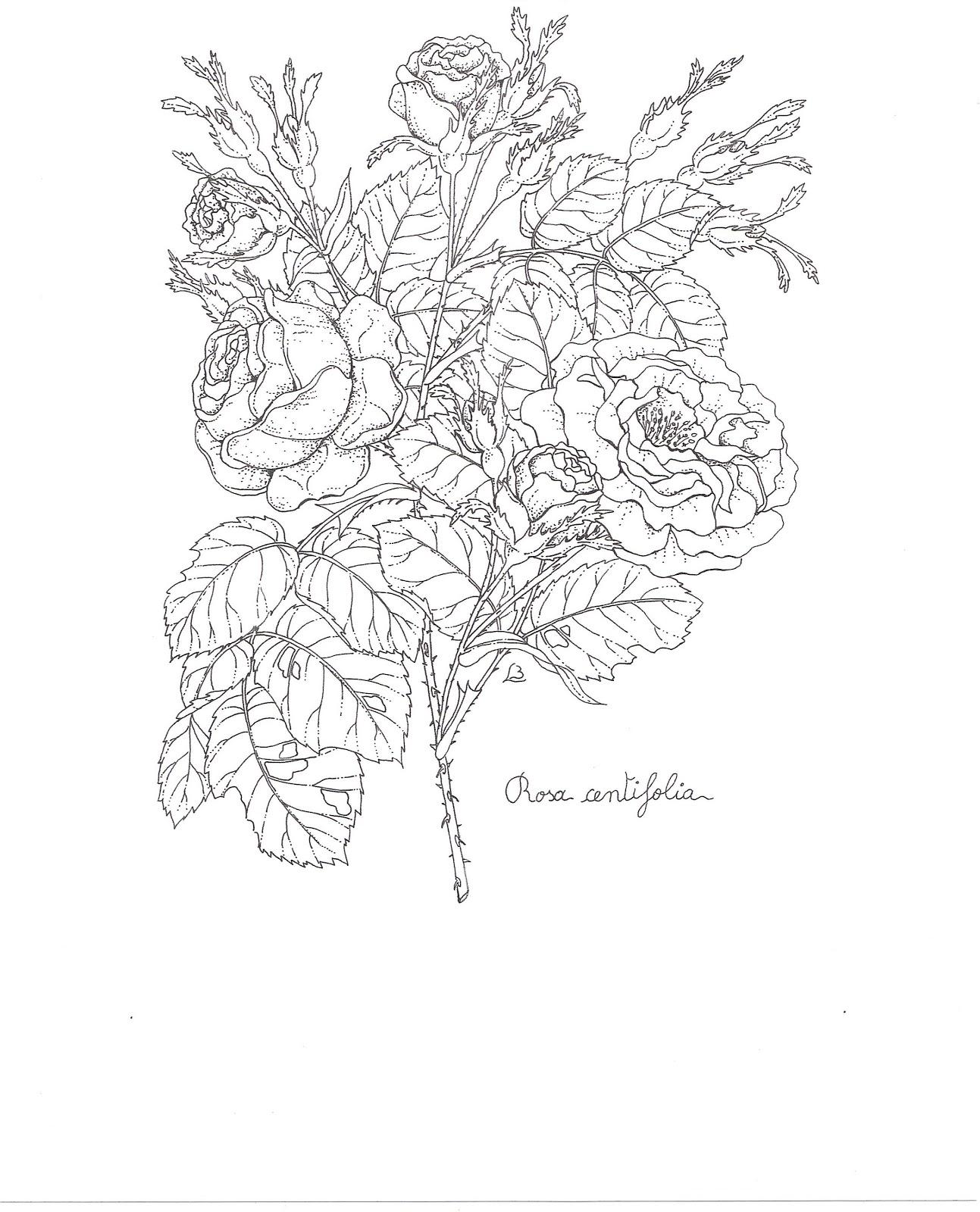 gaultheria fragrantissima huile essentielle