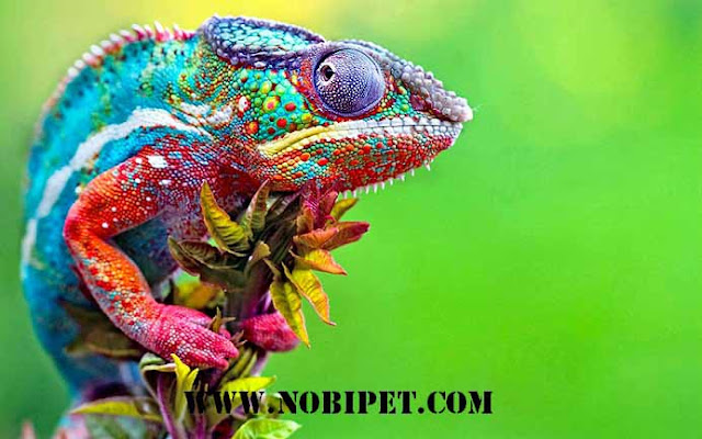 Ban-bo-sat-canh-reptiles-tac-ke-hoa-chameleon-gia-re-tai-da-nang