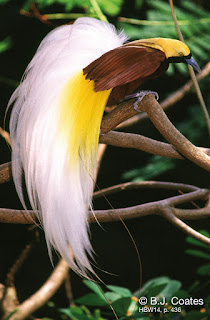 Lesser Bird of Paradise, Papua Endemic Species