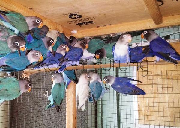 Cara Ternak Burung Lovebird - Panduan Lengkap Untuk Pemula