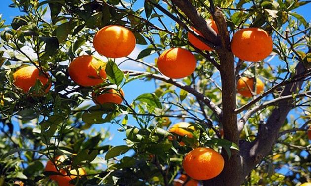 Laranja (Citrus sinensis Osbeck)
