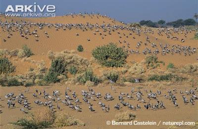 Demoiselle Crane habitat