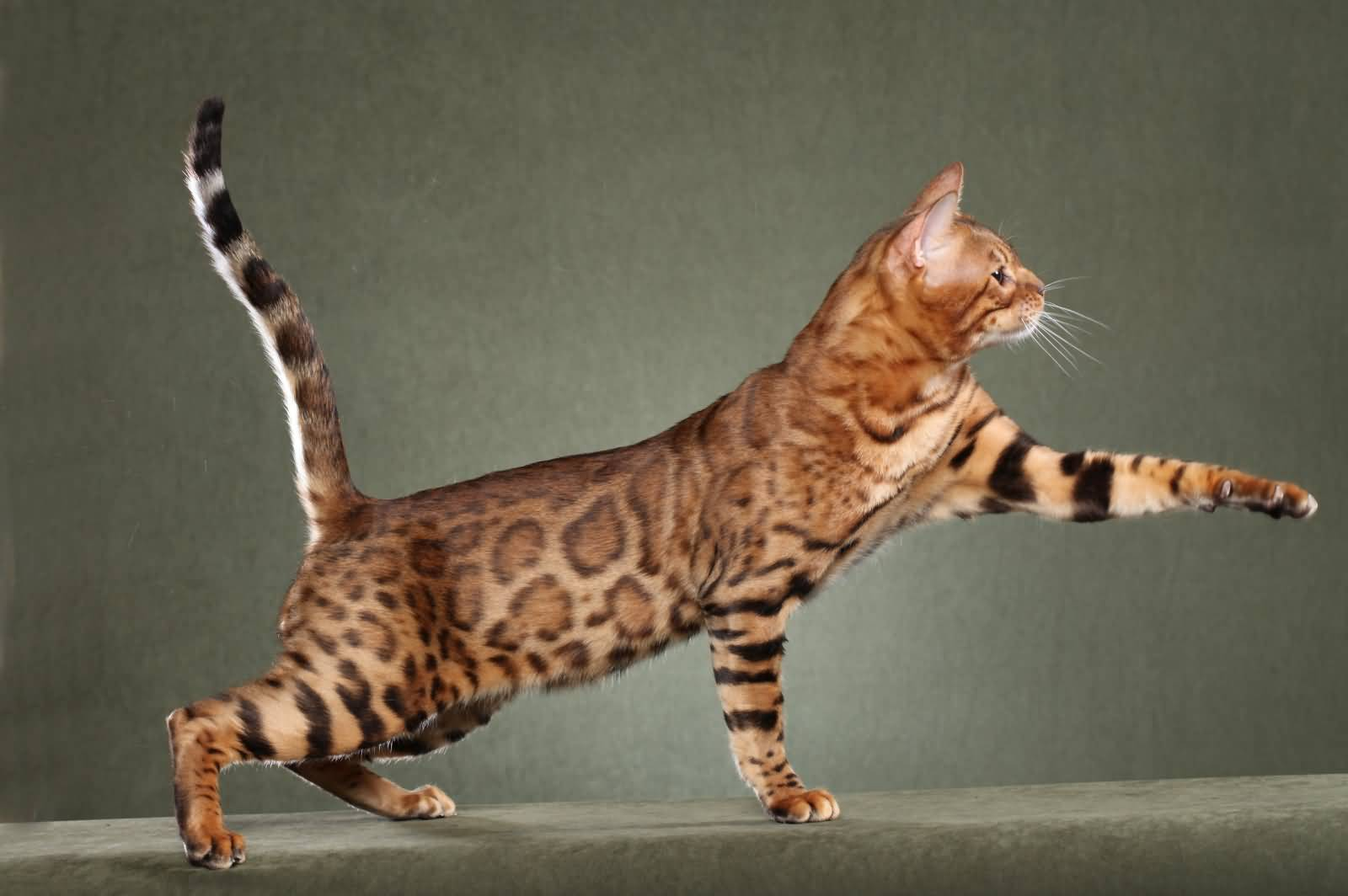 Exotic Cats That Are Kept as Pets