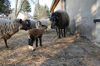 Shetland Lamm