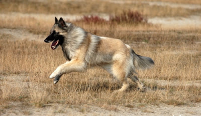Belgian Tervuren - An Energetic Worker