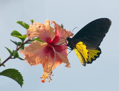 Common Birdwing (Troides helena cerberus)