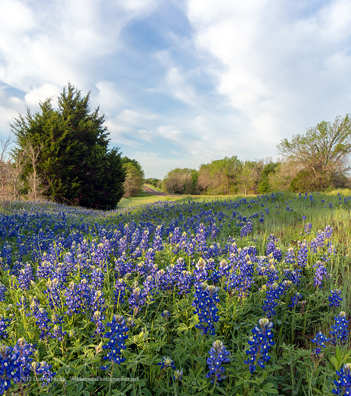 2013 Bluebonnet Season Is Upon Us: Texas Bluebonnets