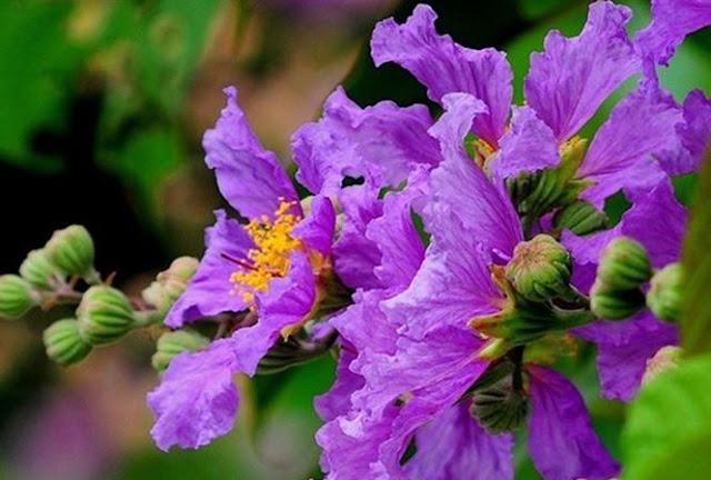 hoa bang lang tim y nghia