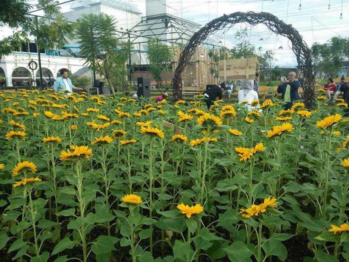 Lokasi Wisata Kebun Bunga Matahari Sky Garden