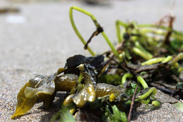Rahasia Kesehatan Rumput Laut