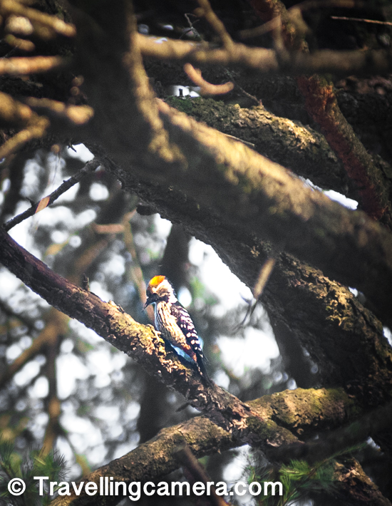 Another surprising aspect of birding in Dalhousie is the sheer variety of woodpeckers you see at work. These busybodies continue with their labour, pecking and poking at the barks, oblivious to the cameras pointed at them, struggling to capture them despite their continuous movements.