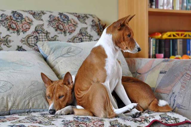 Two Basenjis on a sofa looking squashed together