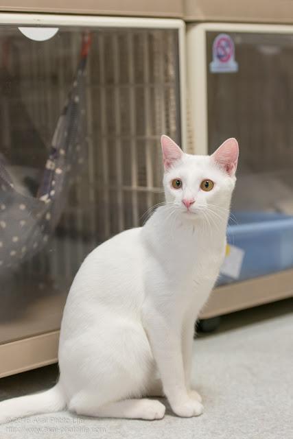 猫カフェ 西国分寺シェルターにいた遊び好きで人懐っこい白猫