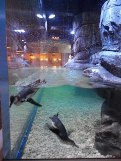 Para Pinguin berenang dengan riang gembira