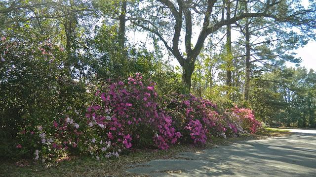 Image result for azalea hedge