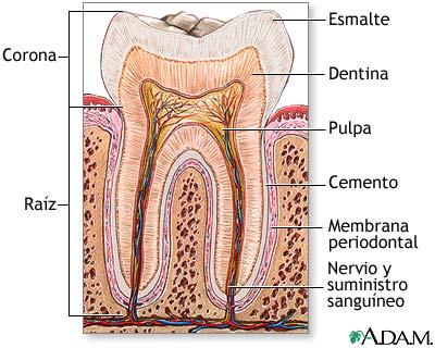Anatomía y estructura de un diente | Odontologia Salud y Hoy!