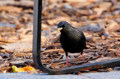 Estornino negro (Sturnus unicolor) paseando tranquilo por uno de los parques urbanos en los que abunda.