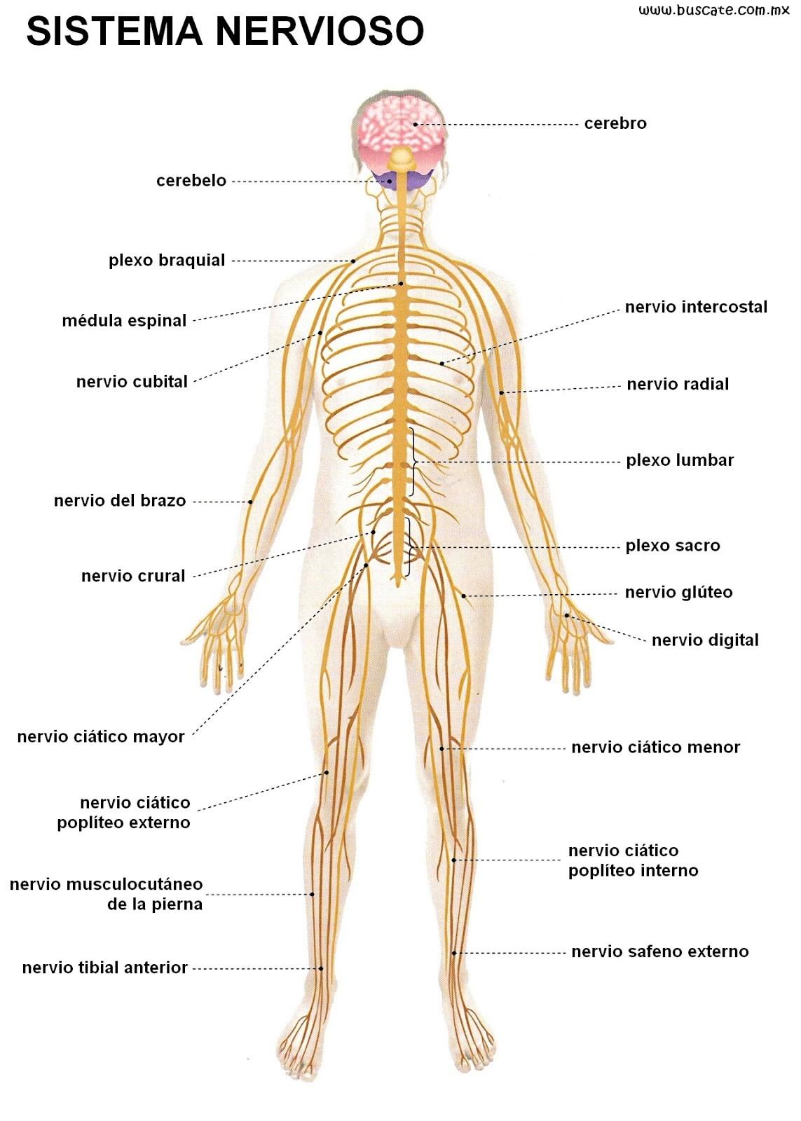 Sistemas del cuerpo humano: Sistema nervioso