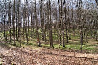 In einem, mit Laub bedeckten Wald liegt ein grüner Teppich aus Bärlauch
