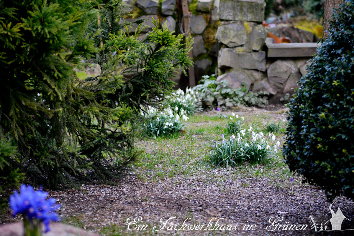 Schneeglöckchen im Garten