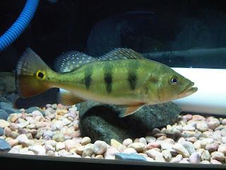 Cara Merawat Ikan Peacockbass