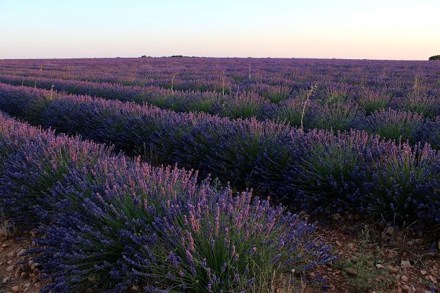 Dónde ver campos de lavanda en España. Campos de lavanda en Brihuega. Lavanda en flor