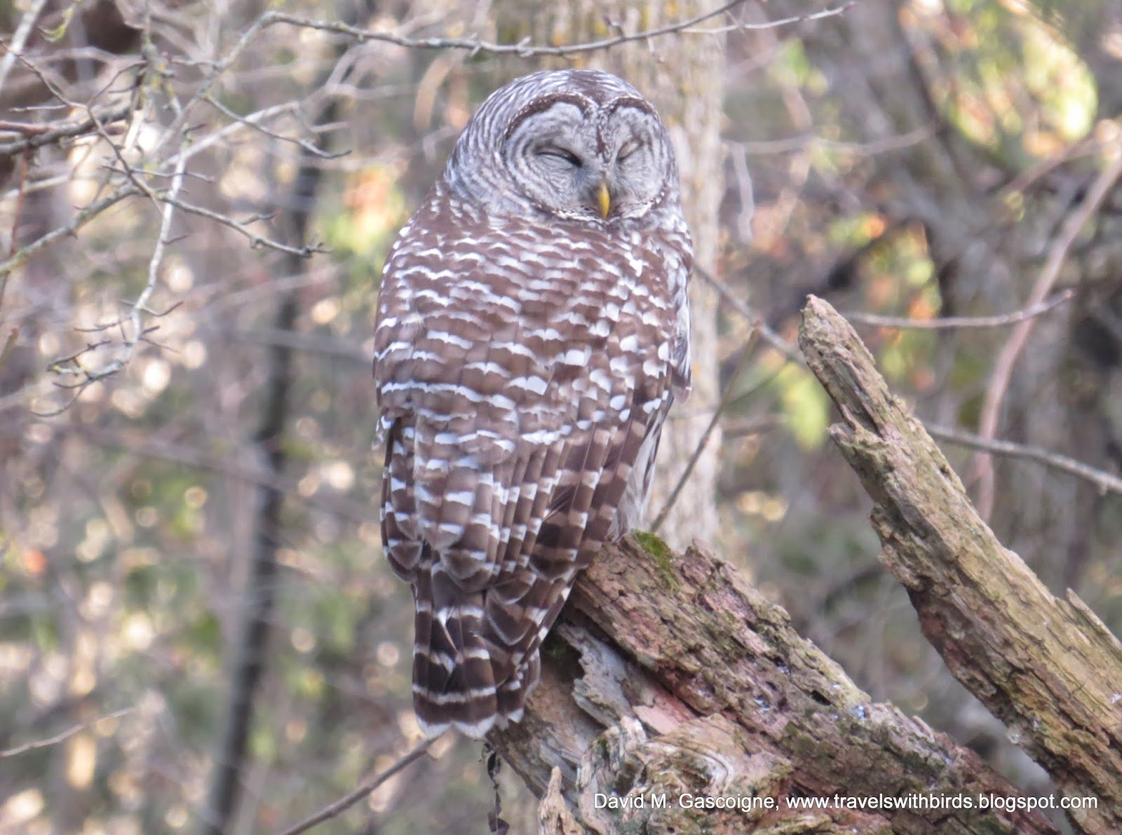 Travels With Birds: Barred Owl (Chouette rayée)