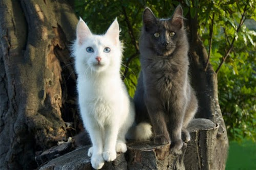 Turkish Angora Cat Breed: Personality, Health, Care and Grooming