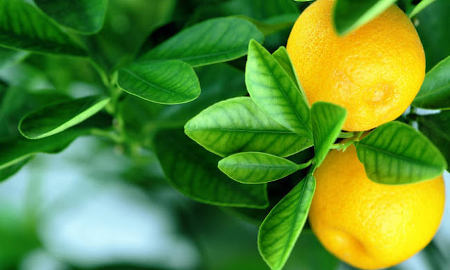 Εσείς ξέρατε που φύτρωσαν οι πρώτες πορτοκαλιές και λεμονιές στον πλανήτη Γη;
